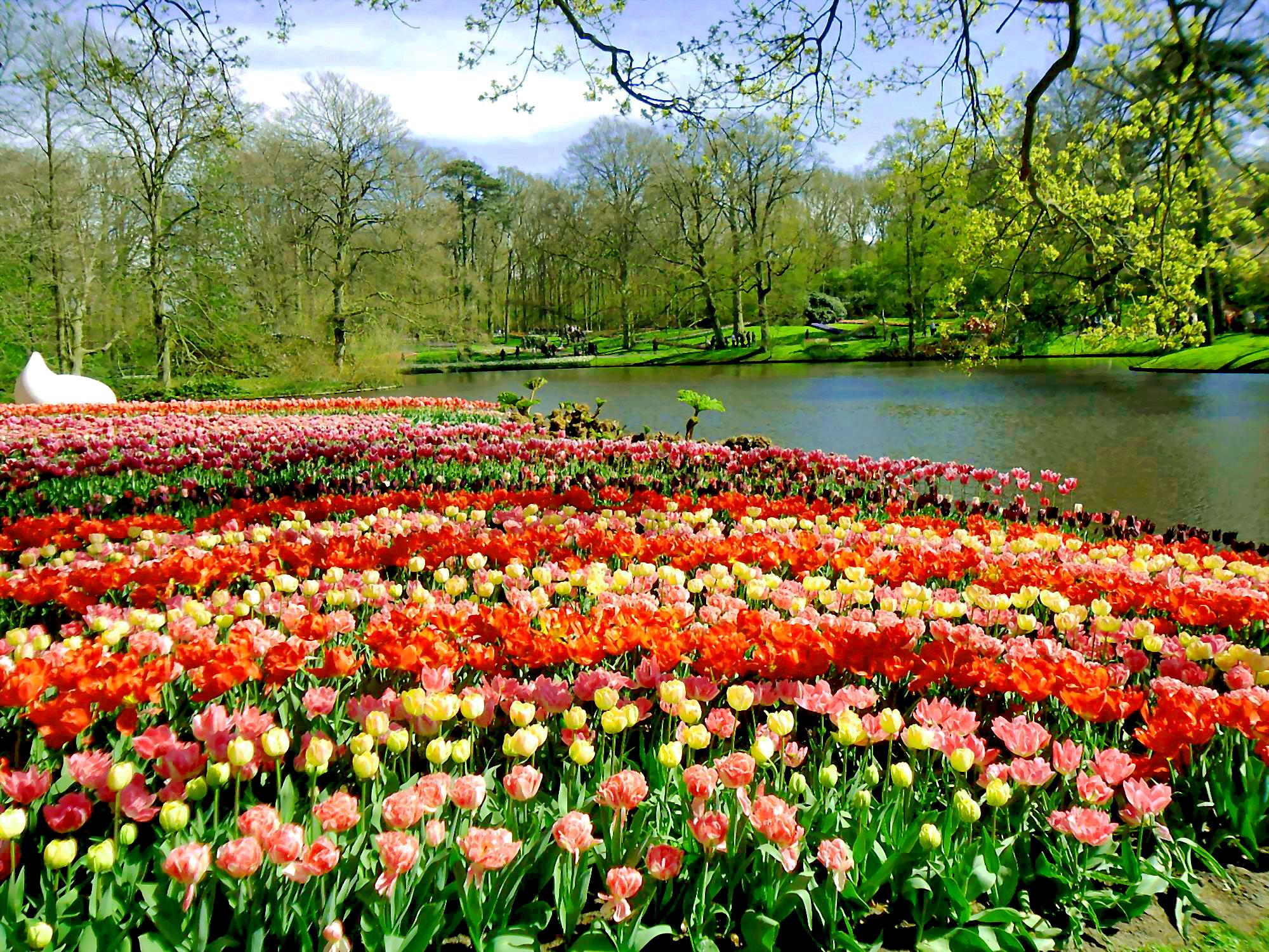 tulip_ha_lan_8