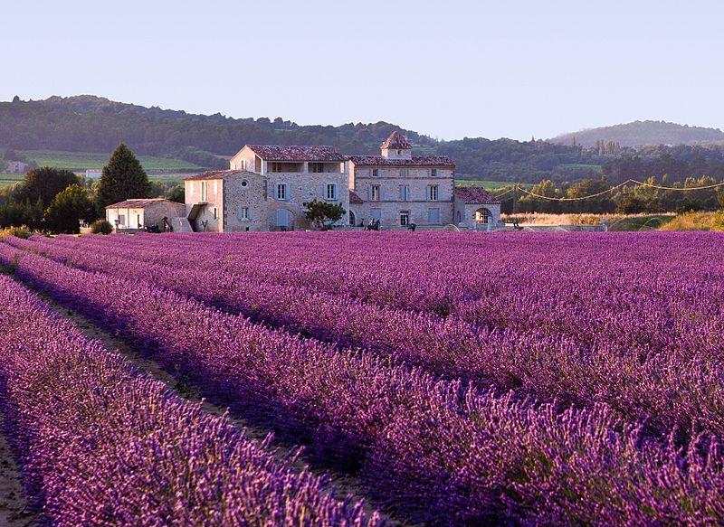 800px-lavender_field